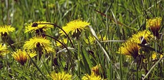 Huflattich   Coltsfoot (André-DD) Tags: pflanze plant pflanzen plants huflattich coltsfoot natur nature frühling spring blume blumen flowers flower gelb yellow wiese field meadow