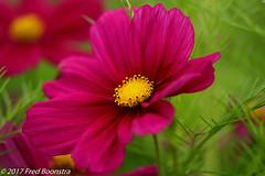 """In the garden, """"Cosmos bipinnatus"""" (A.J. Boonstra) Tags: cosmosbipinnatus garden flower plant canon canon70d canoneos ef100mmf28lmacroisusm eefde closeup macro flowers"""