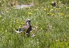 G_88A1307 (Foto Massimo Lazzari) Tags: ghiandaia animali uccelli