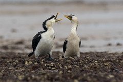 Little Pied Cormorant (oz-birds) Tags: birds littlepiedcormorant wellingtonpoint