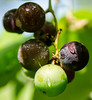Morning_Dew (briarphotos) Tags: briarphotos nikon nikon18200mm grapes