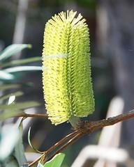 is lemon your favourite (Leonard J Matthews) Tags: nature lemon bottlebrush environment creation mythoto australia noosaheads queensland