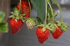 Dessert time! (janrs7) Tags: summerfeelings summer berry berries strawberries red green pot grow plant dessert porch fruit nikon1855mm macro