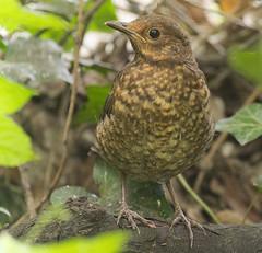Juvenile blackbird (hedera.baltica) Tags: blackbird commonblackbird eurasianblackbird kos koszwyczajny turdusmerula