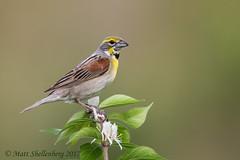Dickcissel (Matt Shellenberg) Tags: bird brown yellow prairie dickcissel