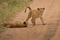 Lions of Maasai Kopjes 429 (Grete Howard) Tags: bestsafarioperator bestsafaricompany africa africansafari africanbush africananimals whichsafaricompany whichsafarioperator tanzania serengeti animals animalsofafrica animalphotos lions lioncubs maasaikopjes kopjes kopje