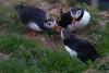 IMG_5689.jpg (Graham Racher) Tags: atlanticpuffin fraterculaarctica shetlandislands sumburgh sumburghhead puffin