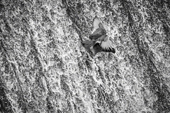 Surf's Up (m8oxy) Tags: coot waterslide surf nature wildlife hertford meads ware blackandwhite