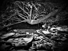 thriving (imposible?) Tags: tree roots hangingon perseverance deteremination will monochrome subversive rising thriving