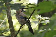 Eichelhäher - garrulus glandarius (krueesch) Tags: eichelhäher garrulusglandarius rabenvogel jay europeanjay singvögel singvogel bird birds vögel vogel