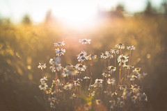 (coral staley-hall) Tags: canon 85l 12l bokeh 6d flowers sunset white grain fullframe