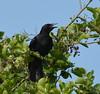 Hot Crow (oxipang) Tags: crow kraai hot holland natuur nature balijbos zoetermeer warm warmth warmte zwart