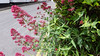 x20170531_110638 Valerian (Lovelli) Tags: roper road flowers roses californian poppies fire hydrant sign fushias labour supporter