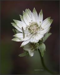 Astrantia (kimbenson45) Tags: astrantia closeup differentialfocus flower green macro nature petals plant shallowdepthoffield white