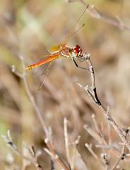 Red-veined Darter (Sympetrum fonscolombii) mâle (berniedup) Tags: sauveterre redveineddarter sympetrumfonscolombii dragonfly taxonomy:binomial=sympetrumfonscolombii