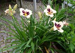 2017 Germany // Unser Garten - Our garden // im Juli // Taglilie (maerzbecher-Deutschland zu Fuss) Tags: 2017 garten natur deutschland germany maerzbecher garden unsergarten juli taglilie
