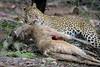 Take-Away (kishorebhargava) Tags: india indianleopard ranthambhore ranthambhoretigerreserve