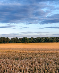 Closing in on the Outcast (Matthew Murray Photo) Tags: yellow trees landscape sunset nature blue clouds nikon green wheat pink crop pasture agriculture farm wide outdoors dusk local cereal explore cropland graduated no person nikonphotography d5500 35mm