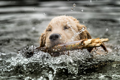 """""""My very first stick."""" (Russ Beinder) Tags: bc buntzenlake canada goldenretriever nugget dogs fetch purebred swimming water geocountry exif:make=nikoncorporation geo:lat=49340675 geocity geostate exif:model=nikond810 exif:lens=7002000mmf28 exif:isospeed=800 geo:lon=12285518055555 geolocation exif:aperture=ƒ56 camera:model=nikond810 exif:focallength=140mm camera:make=nikoncorporation 70200mmf28 1"""