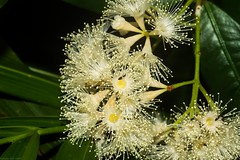 Syzygium cryptophlebium (dustaway) Tags: myrtaceae syzygium syzygiumcryptophlebium flowers inflorescence whiteflowers australianrainforestplants lismore northernrivers nsw nature australia arfp qrfp tropicalarf arfflowers whitearfflowers