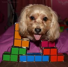 Tetris Day Fun (yourdesignerdog) Tags: ifttt wordpress all posts wordless wednesday worldtetrisday blog cute designer dogs pets photography sadie tetris video game yorkipoo