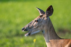 Oh My Dear! (jenna.lindquist) Tags: northernwisconsin cute cuteanimals sillyanimals femaledeer doeadeer wildlifephotographer wildlifephotography sunny deer ohmy doe female grass green ears eye orange shocked surprised funny silly animals wildlife friendly goofy eating canon canon5dmarkiii canon70200f28lll canon70200mm northwoods nature northern