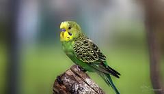 Budgie (Paula Darwinkel) Tags: budgerigar parakeet shellparakeet bird pet animal nature wildlife australian