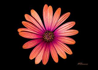 Africain daisy