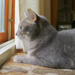 Millie 11 July 2017 5655Ri sq (edgarandron - Busy!) Tags: cat cats kitty kitties tabby tabbies cute feline millie graytabby