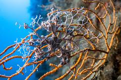(jeepernestino) Tags: astrospartus stella gorgone sea mare dive scuba fotosub relitto capua riservadellozingaro sicilia trapani castellamaredelgolfo