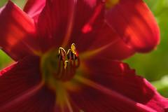 En avant ! (christophe.laigle) Tags: rouge fleur macro xf60mm nature flower fuji xpro2 christophelaigle red