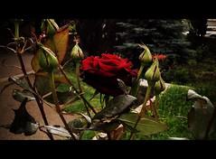Rose flower, роза (Anna Gelashvili) Tags: цветокроза роза rose flower цветок flowers цветочки garden красныецветочки
