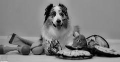 23/52 A Willingness to Play (Jasper's Human) Tags: 52weeksfordogs aussie australianshepherd dog toy