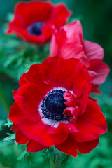 ^^ (Deborah S-C - In The Fairy Garden! - Poorly :-() Tags: flowers flora floral anemone perennials scarlet vibrant colour stunning extraordinary petals prettypetals anthers filaments stamne stigma style pollen foliage leaves luscious ilovetheseanemones beauty inthefairygarden summer summertime 2017 june