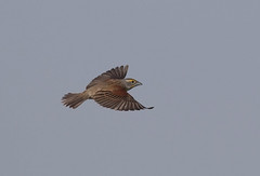 dick-m-easterncimarronco-6-10-17-tl-03-cropscreen (pomarinejaeger) Tags: keyes oklahoma unitedstates bird dickcissel spizaamericana