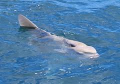 Ocean Sunfish (tombenson76) Tags: oceansunfish molamola orangecounty nearshorepacificocean