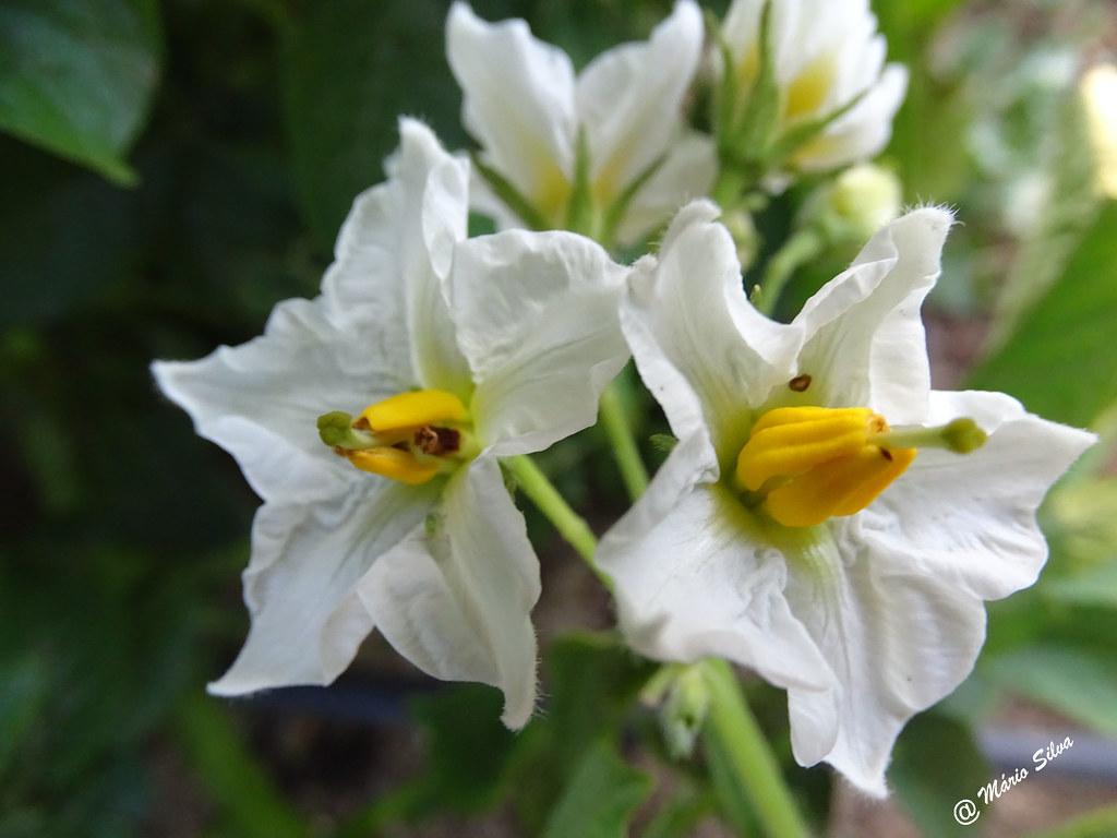 Águas Frias (Chaves) - ... flores da batata ...
