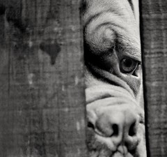 Soulful eye (Explored) (Matt Burke) Tags: doguedebordeaux dog freindly eyes soul wrinkles fence nosing
