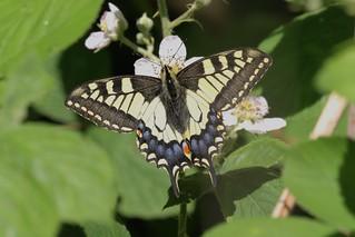 Swallowtail ~ Papilio machaon britannicus ~ How Hill (7)