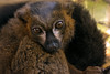 Red-bellied lemur (Tony_Brasier) Tags: lemur zoo howletts kent apples nikon d7200 tamron red 70300mm green grass cages animals