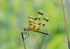 Halloween Pennant (Neil DeMaster) Tags: pennant dragonfly halloweenpennant insect njinsect njwildlife njnature wildlife nature conservation dragonflyongrass banpesticides protectwildlife