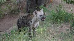 DSC05806 (Olaf Biedron) Tags: afrika krügerpark safari africa krugerpark hyäne hyena hyenapuppy puppy