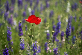 Poppy in Field of Purple