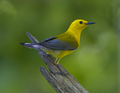 Prothonotary Warbler (AllHarts) Tags: prothonotarywarbler spac hollyspringsms thesunshinegroup sunrays5 naturescarousel feathersbeaks
