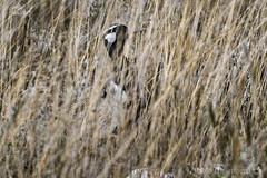 Otarda nera maschio (Afrotis afra), male Black Bustard (paolo.gislimberti) Tags: namibia etosha parchiafricani africanparks parchinazionali nationalparks faunaafricana africanfauna animali animals uccelli birds africanbirds uccelliafricani mimetismo mimicry animaliambientati animalsintheirenvironment savana savannah turismo tourism touristdestinations meteturistiche safarifotografico photographicsafari