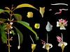 Melastomataceae Blastus cochinchinensis (taiwanicus) Tags: 兩性花 bisexual flower 柱頭 stigma 子房 ovary 雌蕊 pistil 雄蕊 stamen