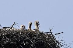 DSC_4501 (franckp64) Tags: bird nidiata nido ciconiaciconia cicognabianca whitestork stork pulli fagagna oasi oasideiquadris
