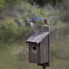 Incoming (Sally Harmon Photography) Tags: blue bluebird westernbluebird western inflight birdwatching birds