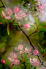 Flowers on Branch (myaarhkoo1) Tags: usa nature flower outdoor 2016 garden newengland plant blooms pink blossoms budding rhodeisland green spring white petals flowering
