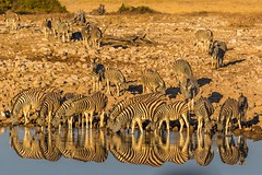 Stripes (gecko47) Tags: animals mammals equine zebras commonzebras burchellszebra plainszebra equusburchelli waterhole lateafternoon drinking reflections stripes okaukuejocamp namibia etoshanationalpark